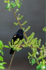 Carouge a epaulette - Red-winged Blackbird (Agelaius phoeniceus)