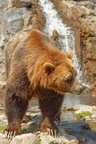 Ours grizzli
