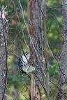 Pic Chevelu - Hairy Woodpecker  (Picoides villosus)
